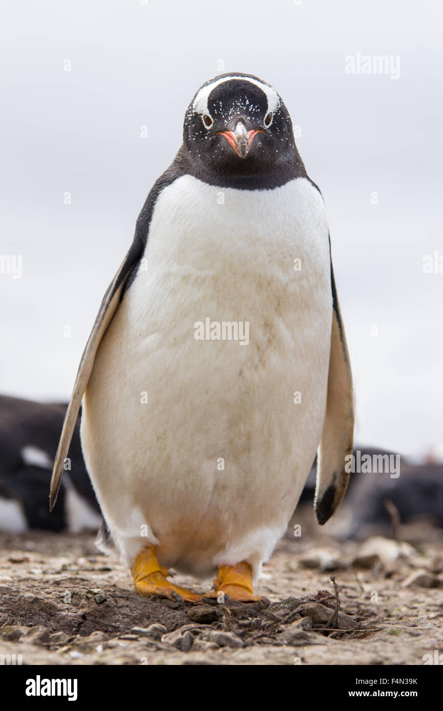 Gentoo Penguin standing by it's nest in colony. Falkland Islands. - Stock Image