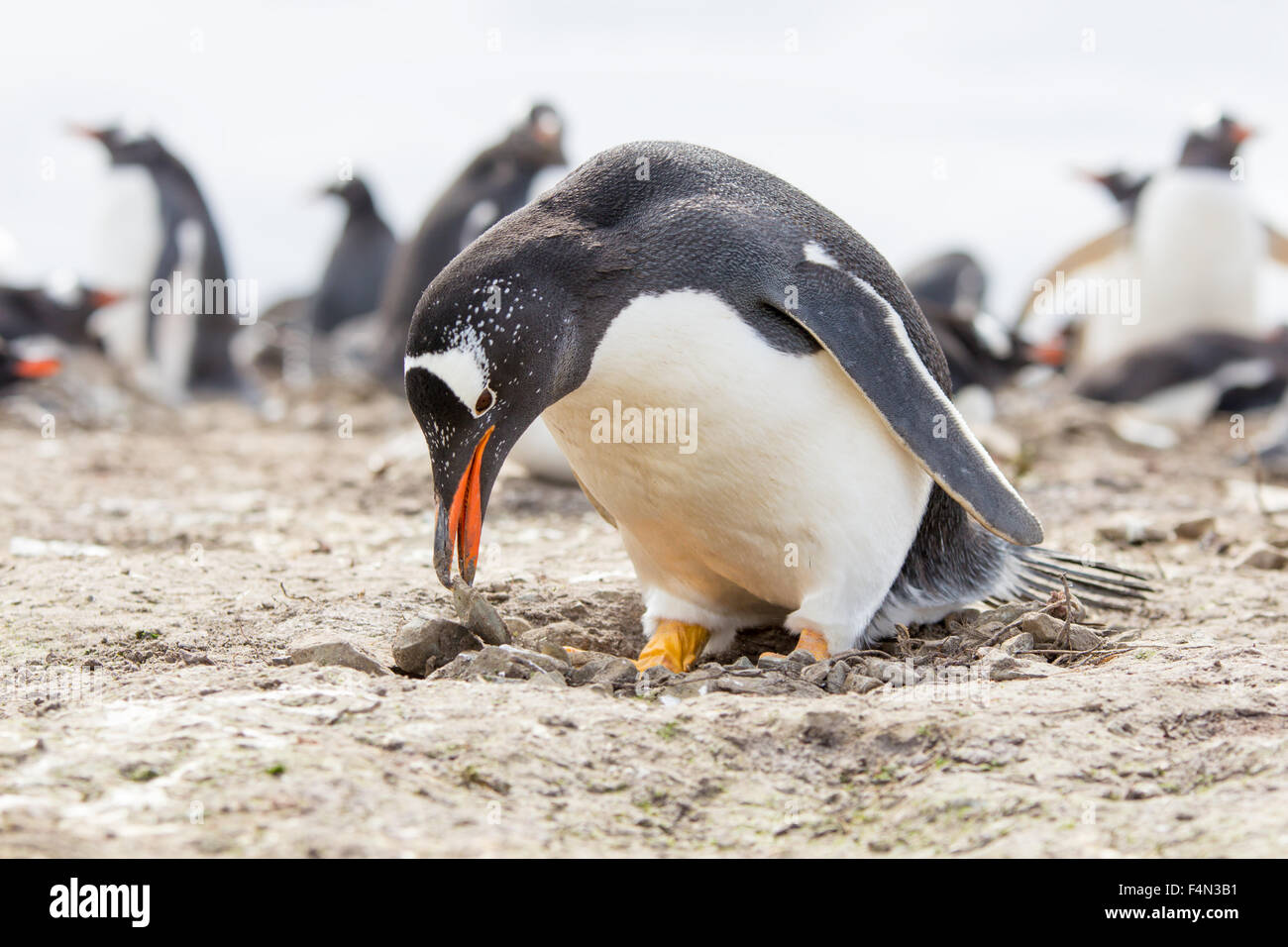 Gentoo Penguin building it's nest by carefully placing rocks and twigs with it's beak. Falkland Islands. - Stock Image