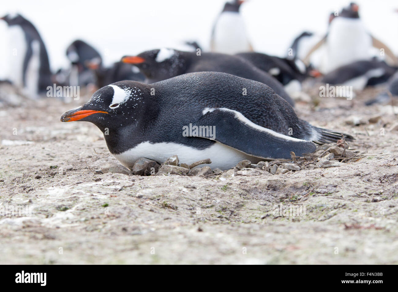 Gentoo penguin lying on it's nest made from rocks and twigs, Falkland Islands. - Stock Image