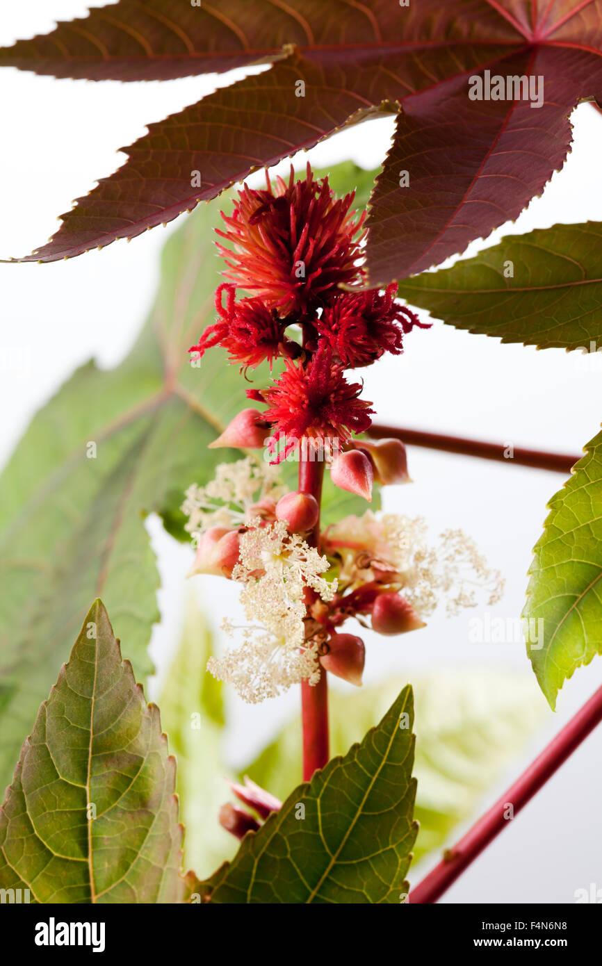 Castor oil plant, Ricinus communis, blossoms, fruits - Stock Image