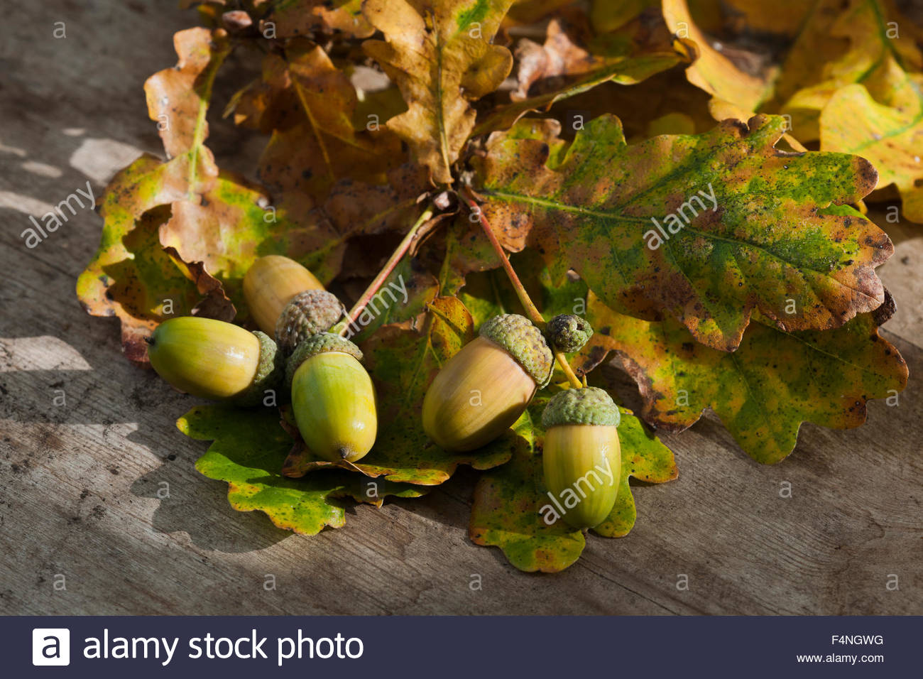 Acorns Quercus robur English common Oak - Stock Image
