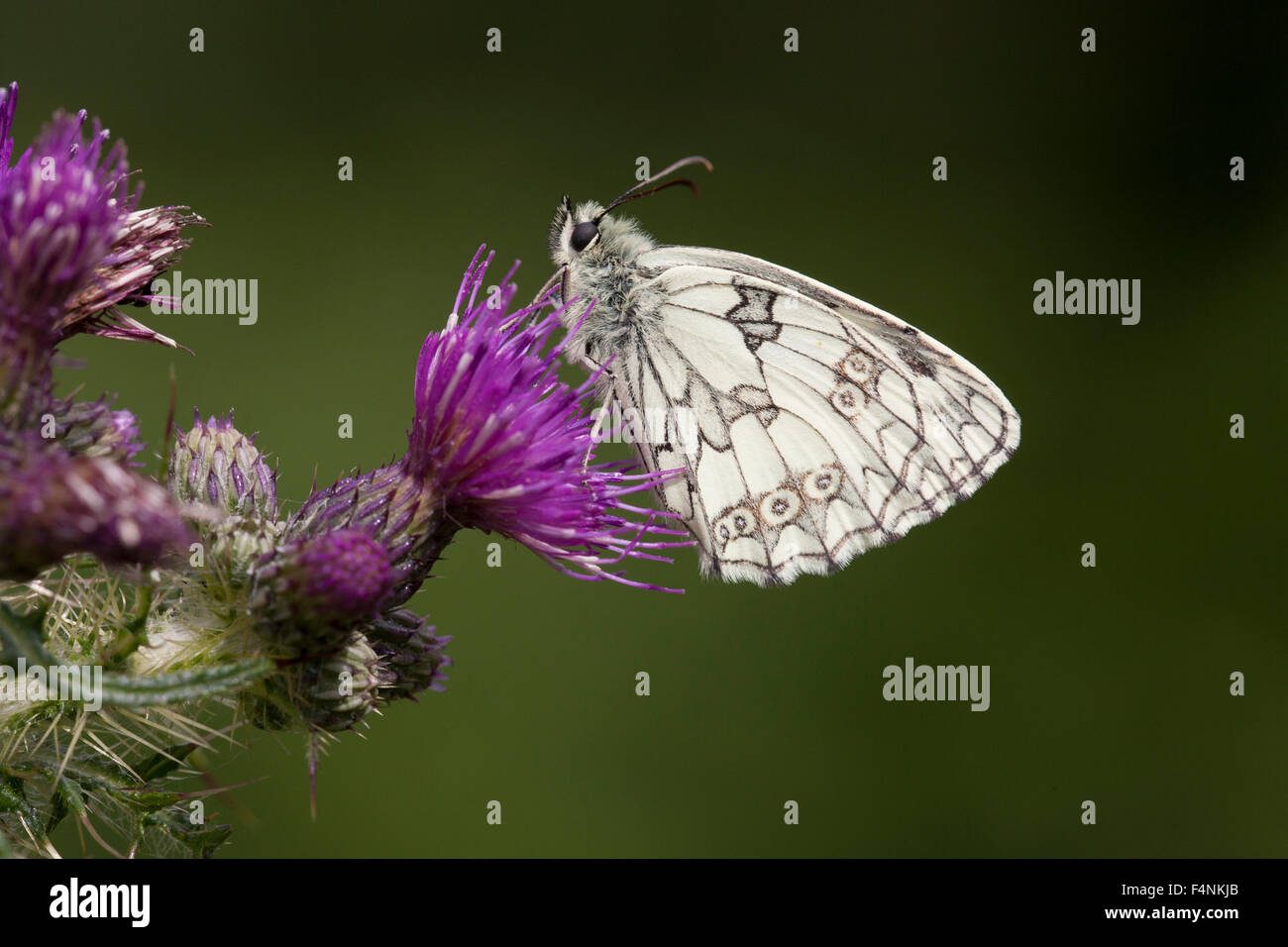 Marbled white Melanargia galathea, imago, roosting on Marsh Thistle, Sandford Quarry, Somerset, UK in June. - Stock Image