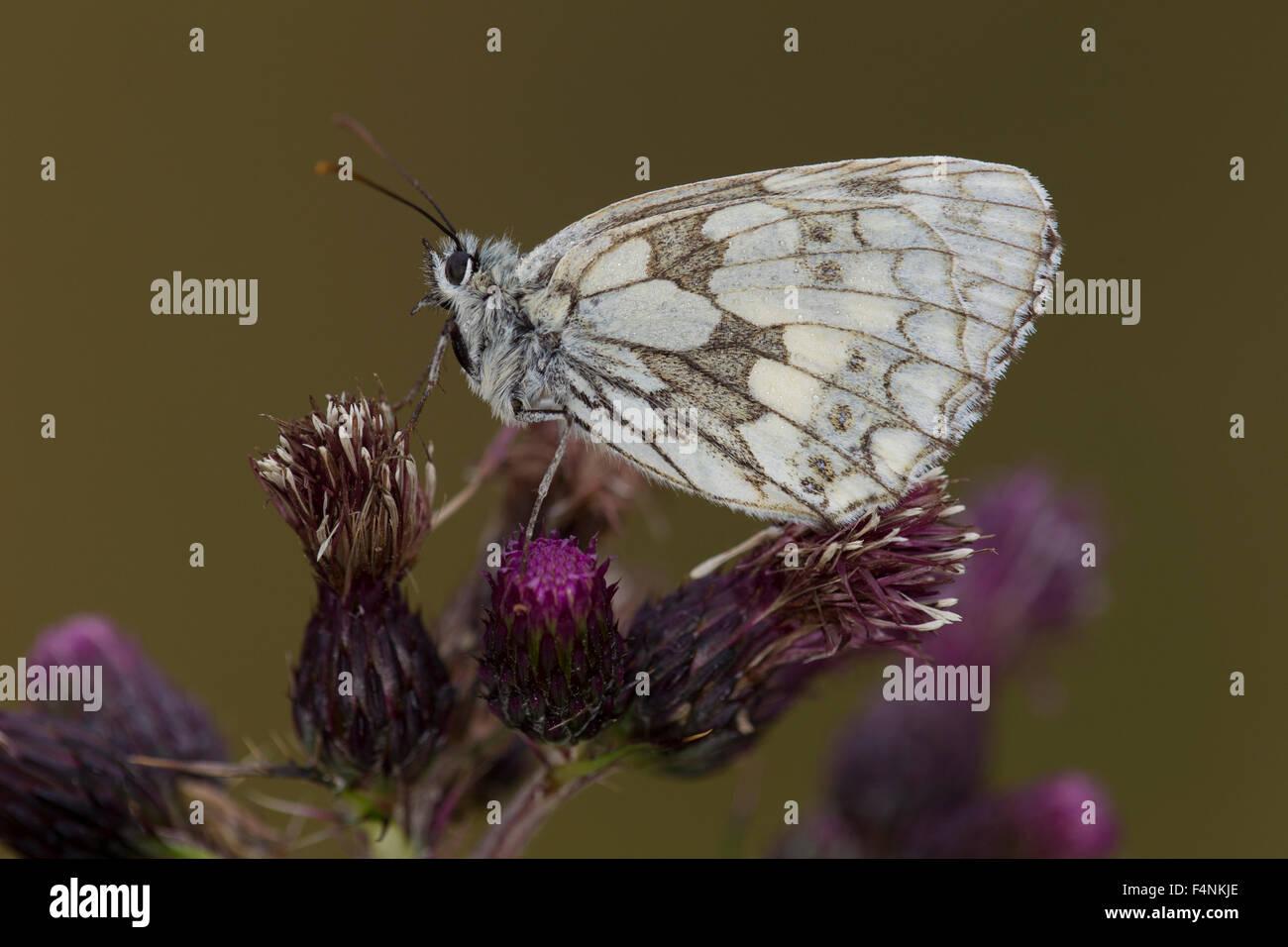 Marbled White Melanargia galathea, imago, roosting on thistle, Alners Gorse, Dorset, UK in July. - Stock Image