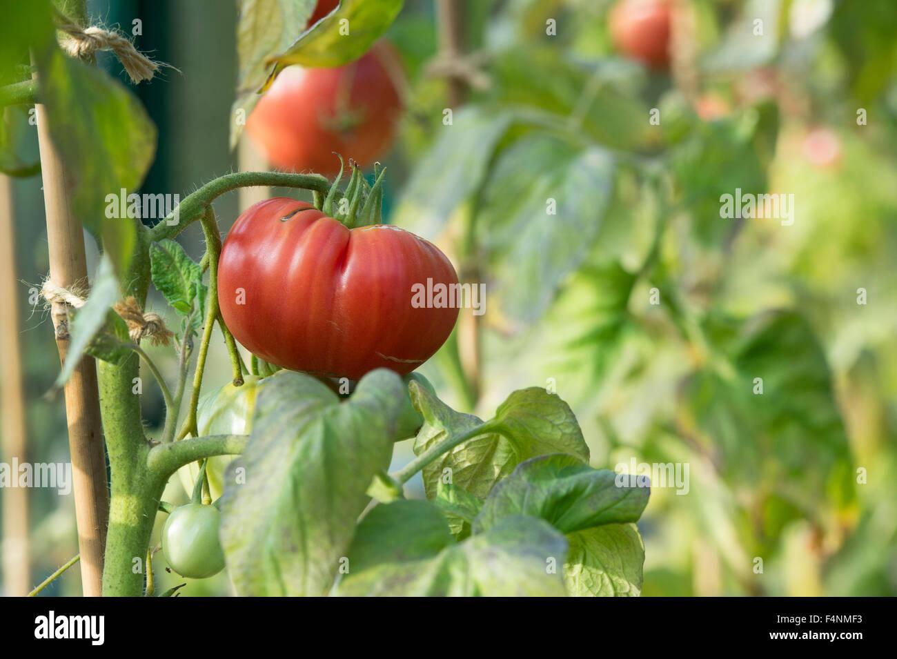 Tomato Pink Brandywine ripening on the vine - Stock Image
