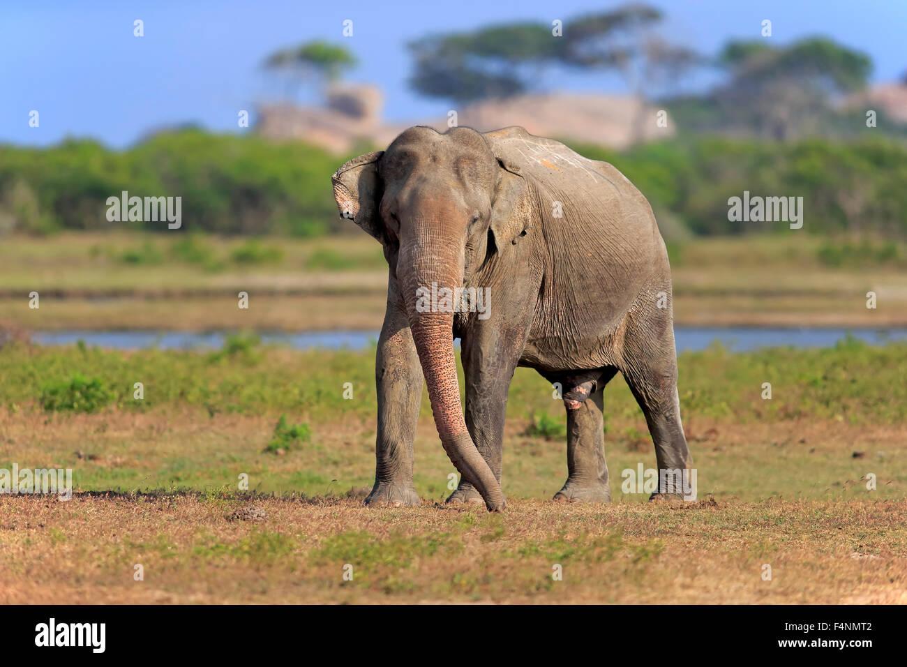Sri Lankan Elephant (Elephas maximus maximus), adult male, foraging, Yala National Park, Sri Lanka - Stock Image