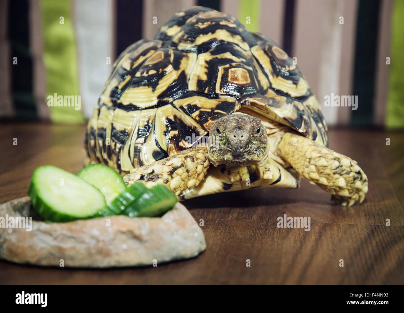 Beautiful Leopard tortoise (Geochelone pardalis) is feeding. Animal scene. Turtles breeding. - Stock Image