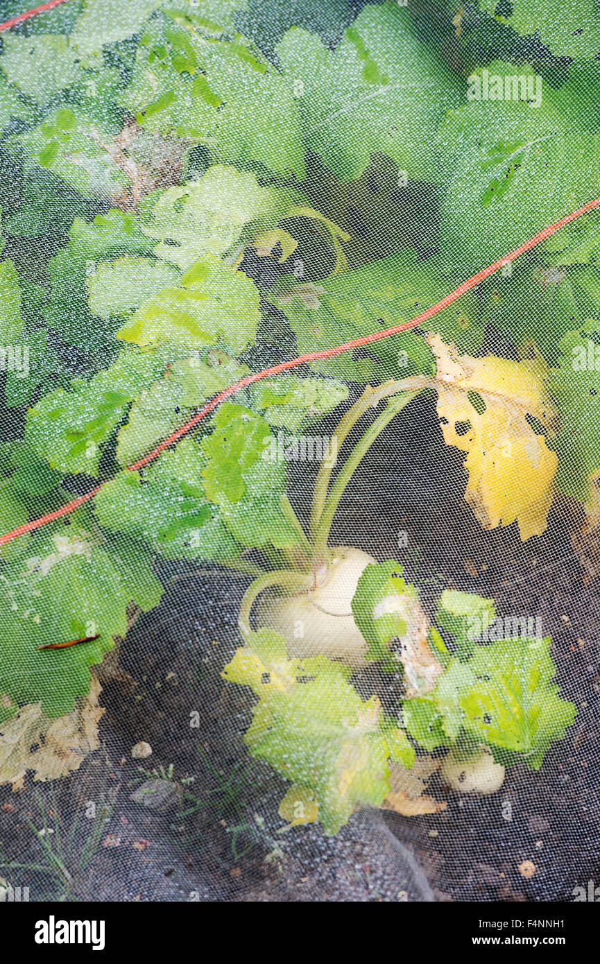 Brassica rapa . Turnip 'Tiny Pal' under protective netting in a vegetable garden - Stock Image