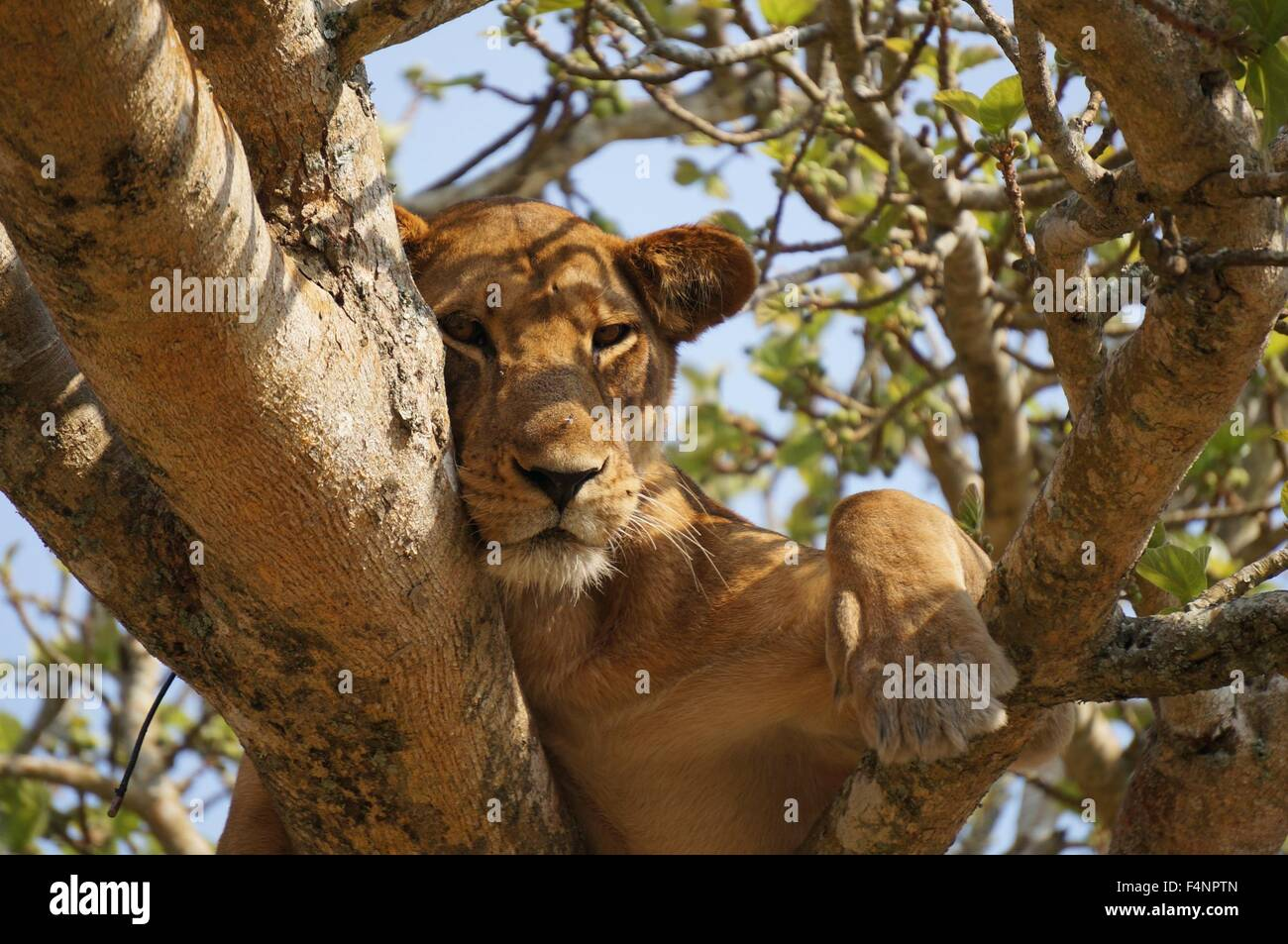 Lion laying down falling asleep in a tree Stock Photo