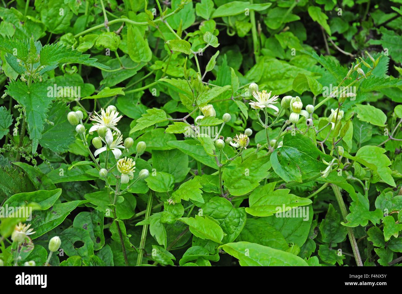 Flowers of Traveller's Joy. - Stock Image