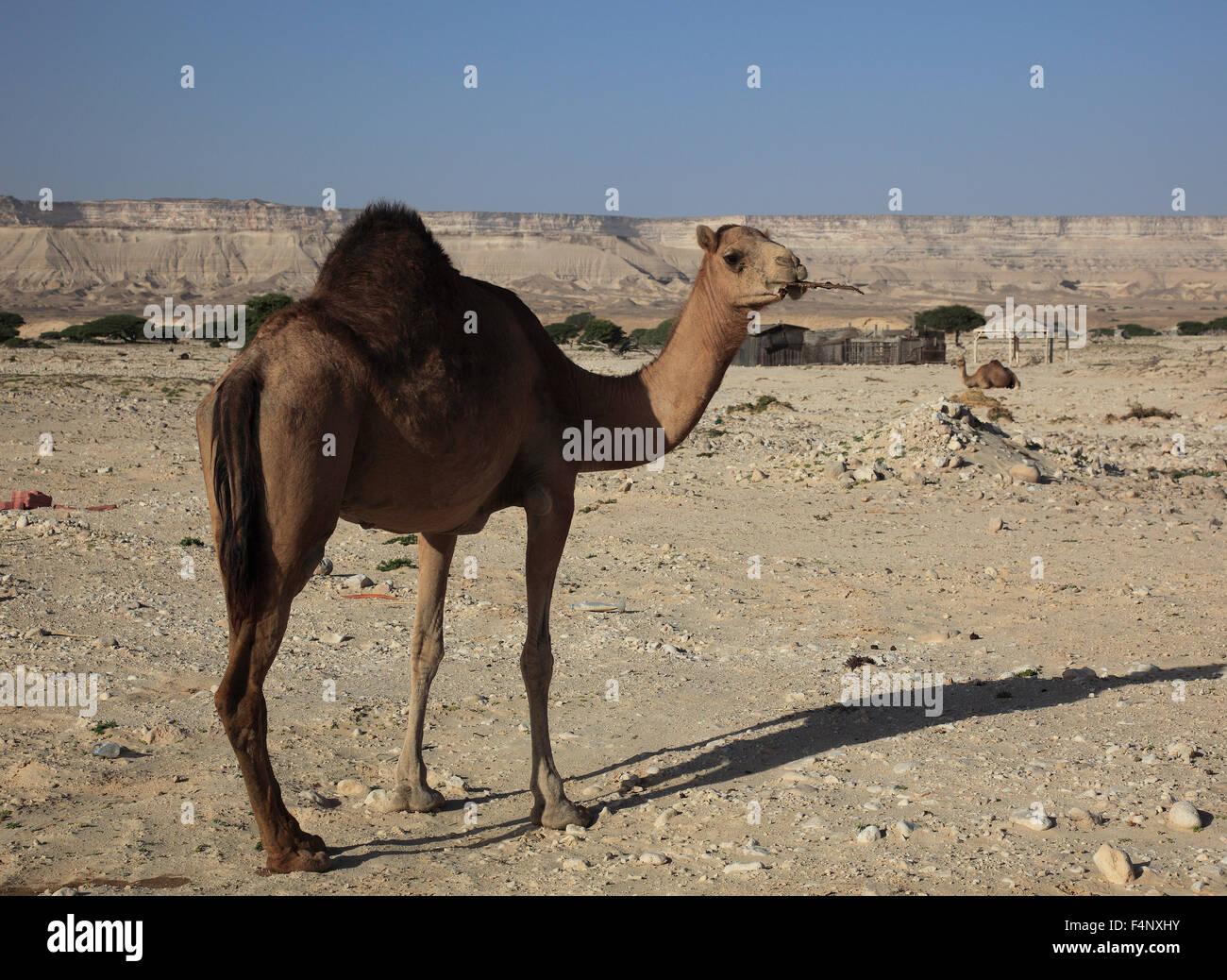 Camel in the desert, Oman Stock Photo
