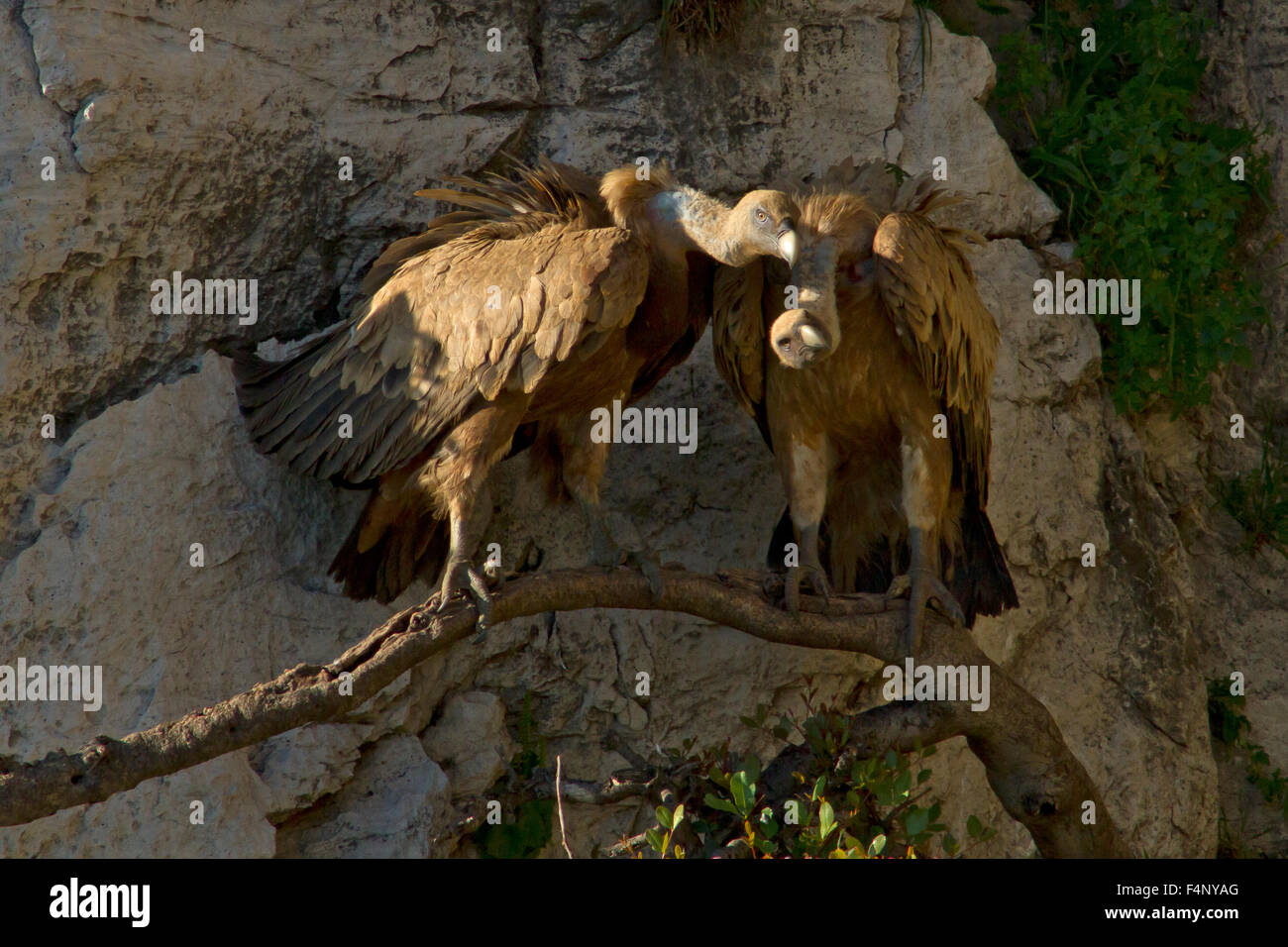 A pair of adult Eurasian Griffon Vultures sitting close together on a horizontal branch growing out of rock face - Stock Image