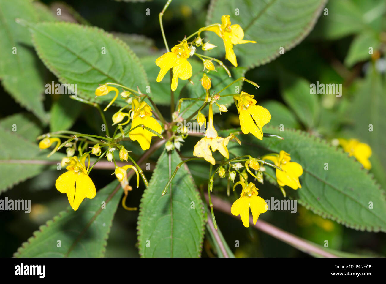 Yellow balsam flowers of the Himalayan annual, Impatiens racemosa Stock Photo