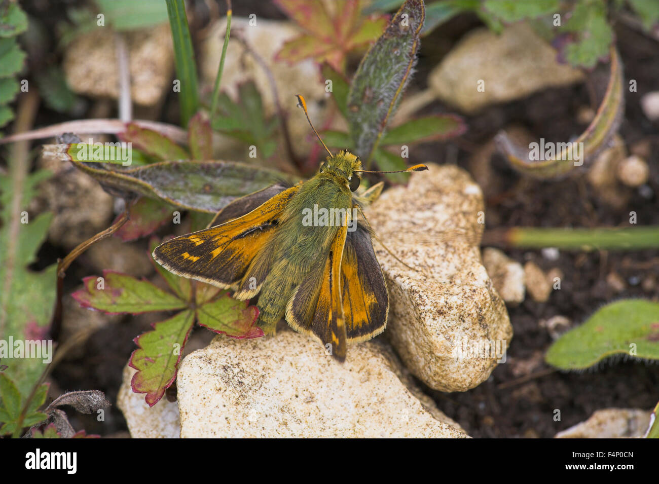 Silver-spotted skipper Hesperia comma, male imago, resting on ground, Aston Rowant, Oxfordshire, UK in August. Stock Photo
