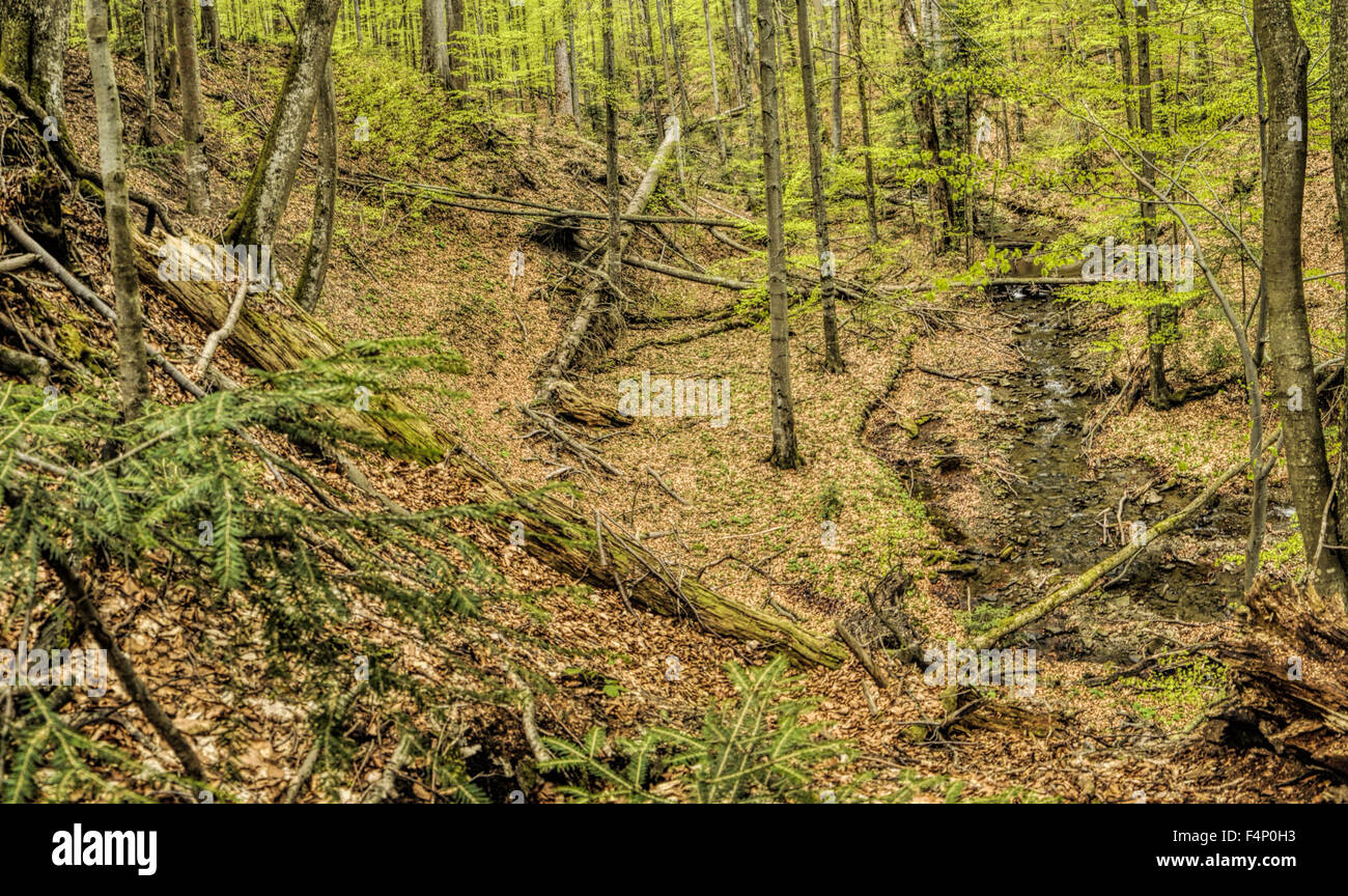 Primeval beech forest on borders between Slovakia and Ukraine in eastern Europe Stock Photo