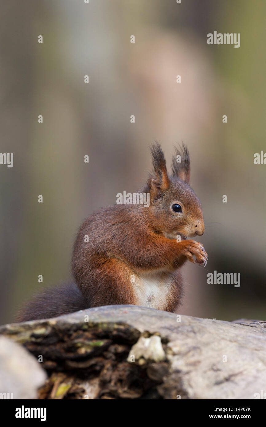 Red squirrel Sciurus vulgaris, foraging on woodland floor, Formby Point, Merseyside, UK in February. - Stock Image