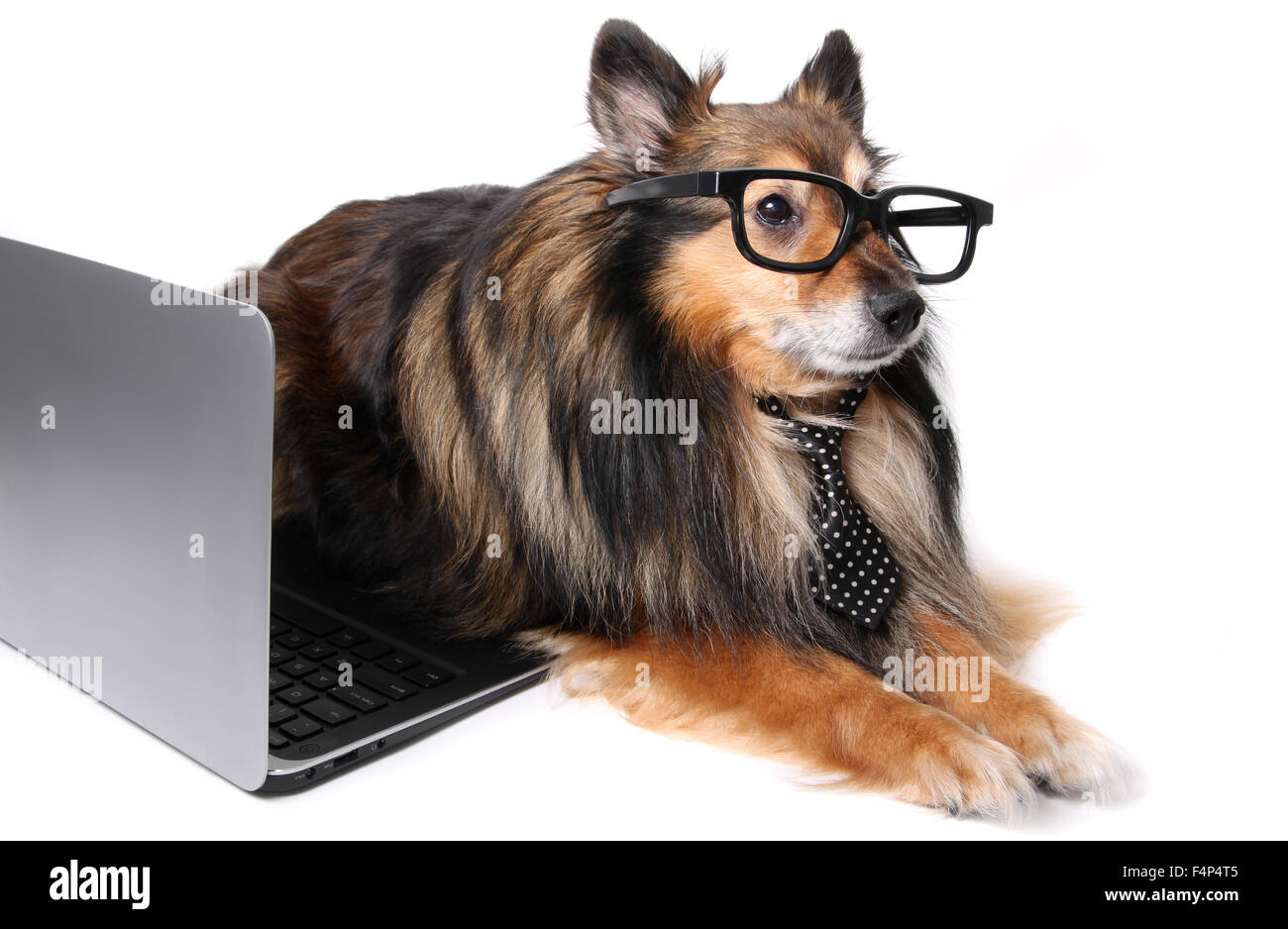 Sheltie or Shetland Sheepdog wearing a tie and geeky glasses laying by a computer laptop, working at the office - Stock Image