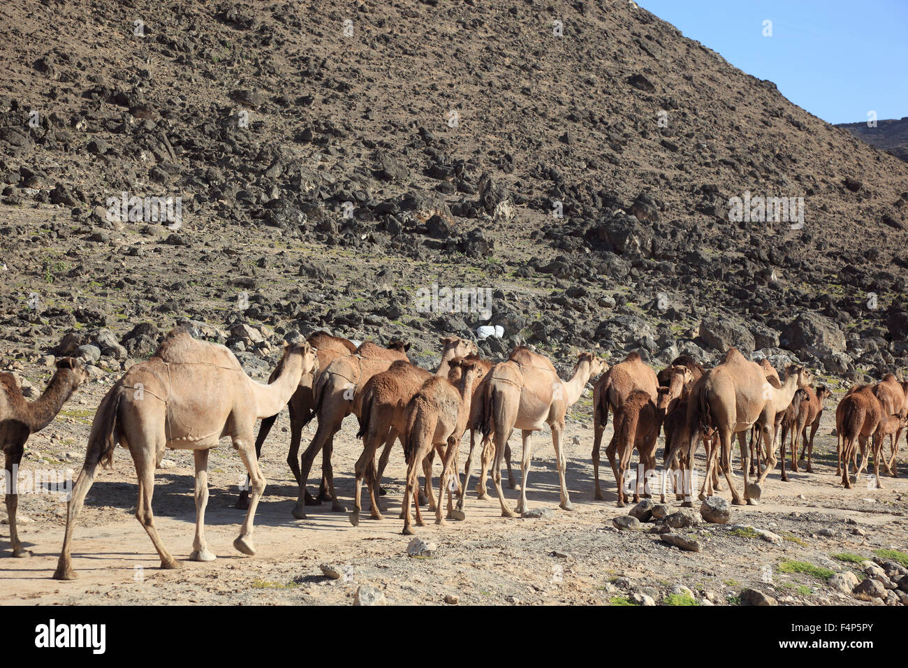 Camel cookers in the Dhofar region, Jabal Al Qamar, southern Oman - Stock Image
