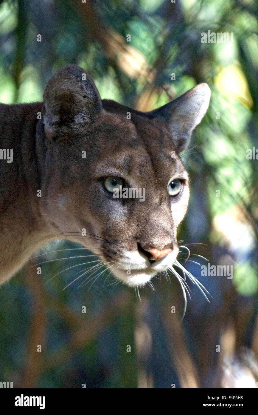 A Florida panther in the Everglades National Park January 26, 2005 near Homestead, Florida. Stock Photo