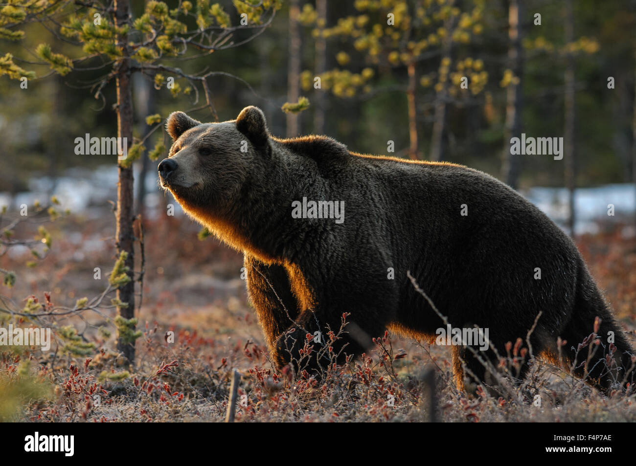 European brown bear in snow in early morning backlight, spring in taiga forest in Finland. - Stock Image
