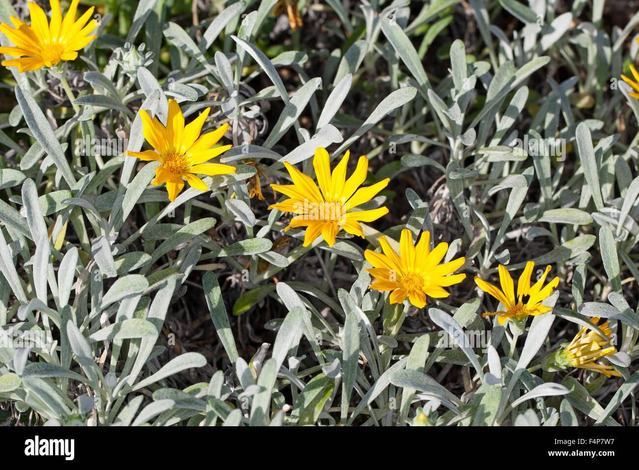 Treasureflower, Treasure-flower, Treasure flower, Gazanie, Mittagsgold, Mittagsgoldblume, Gazania krebsiana, Gazania - Stock Image