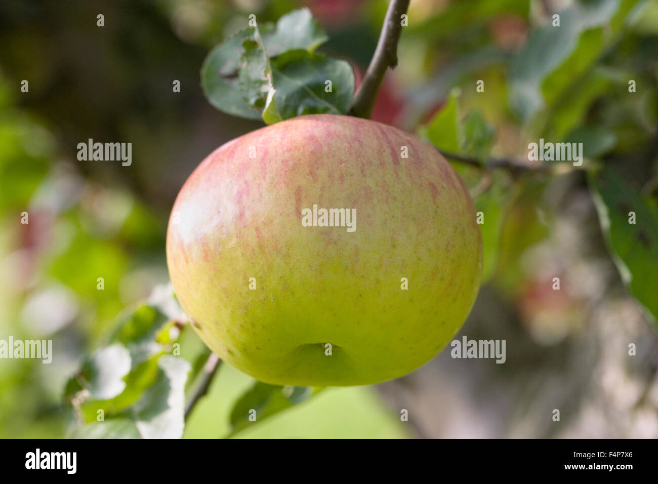Malus domestica 'Bramley's seedling'. Apples growing in an English orchard. - Stock Image