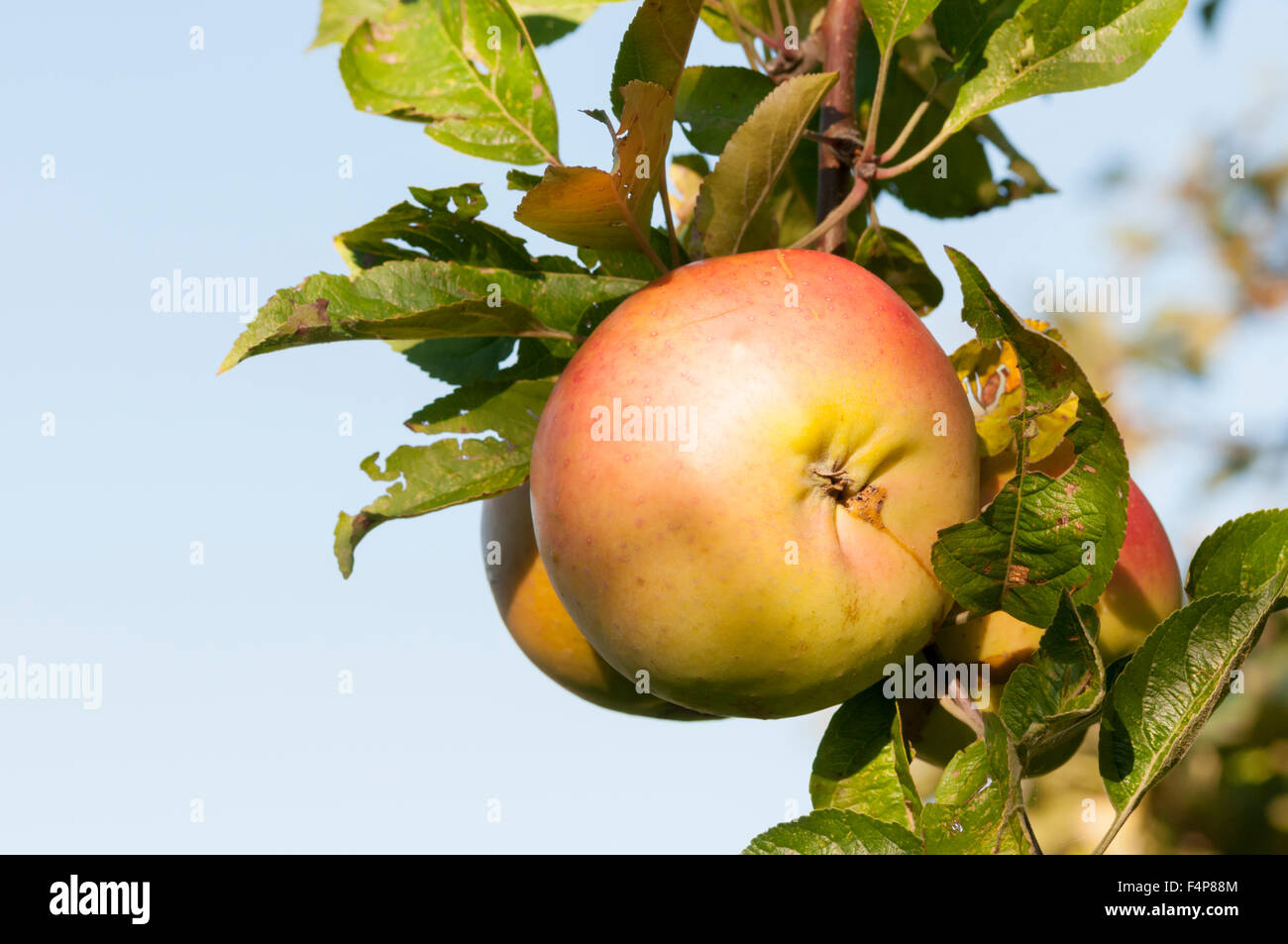 A Dunn's Seedling apple growing on a tree. - Stock Image