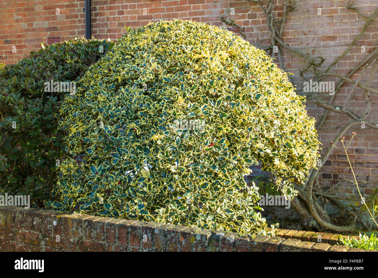 Rounded variegated holly bush in narrow front garden - Stock Image