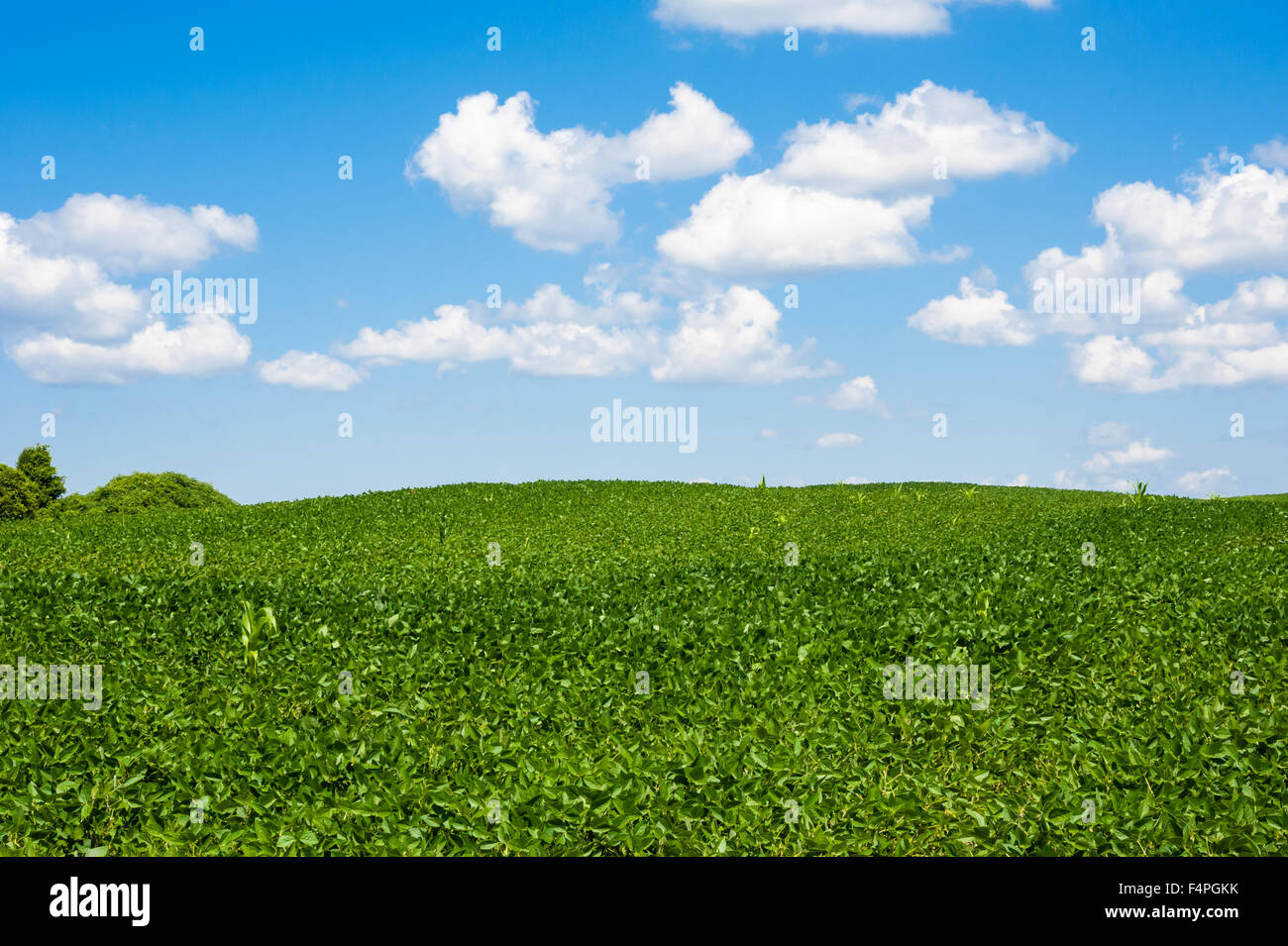 Lush rolling green agricultural farm field hills horizon against fluffy cumulus clouds on blue sky. - Stock Image