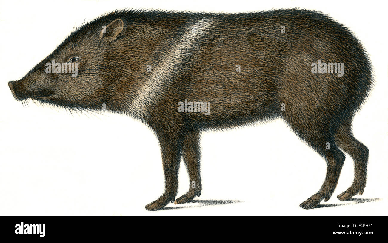 Peccary with Heart-Band Collar, Dicotyles Torquatus, Hand-Colored Lithograph by Karl Brodtmann, Zurich, 1824 - Stock Image
