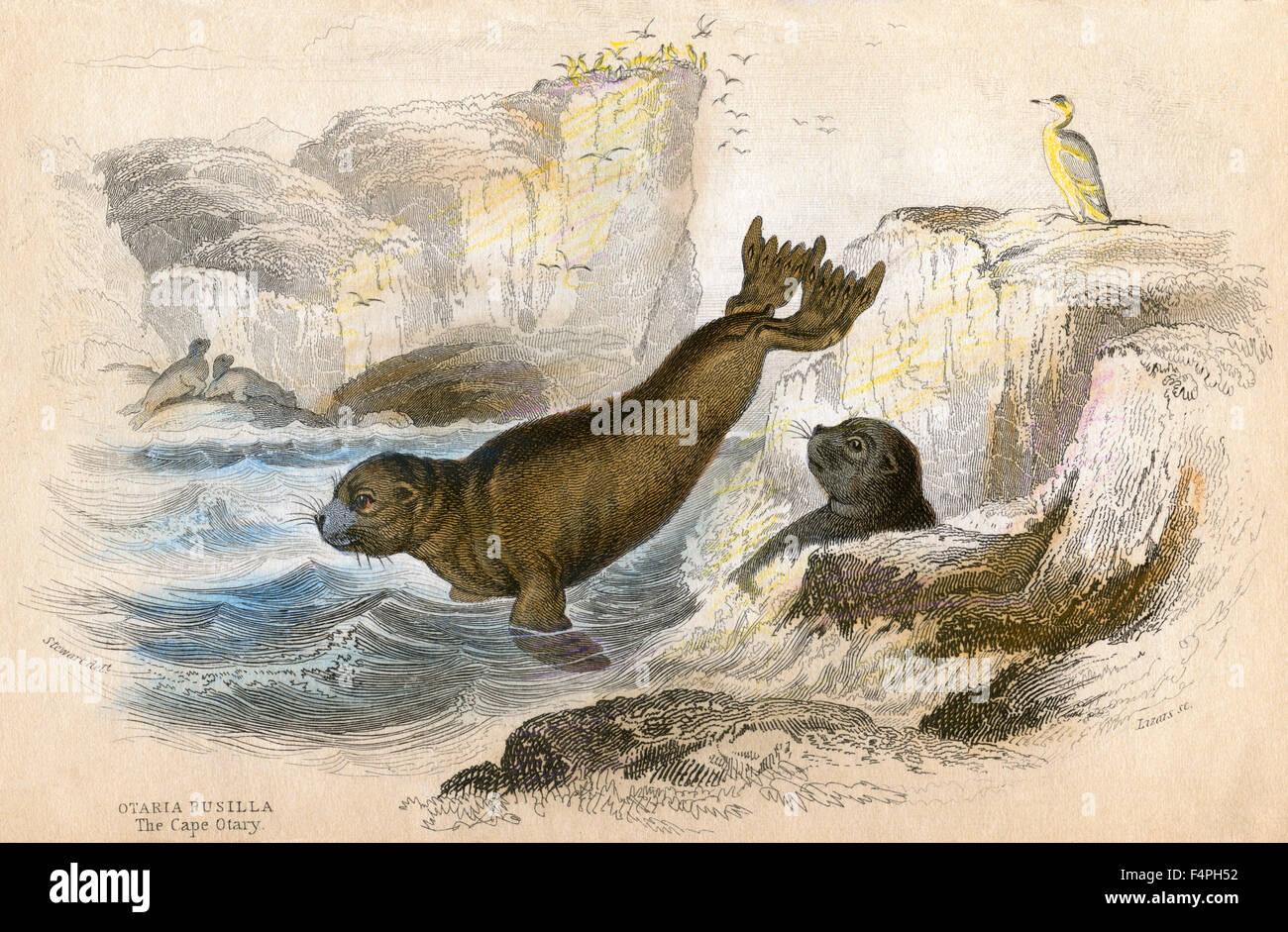 The Cape Otary, Otaria Pusilla, Hand-Colored Lithograph, 1852 - Stock Image