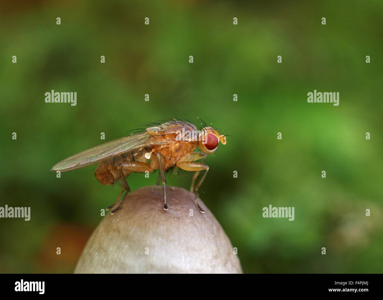 Clusiid fly using the top of a small fungi as a lekking ground to attract females - Stock Image