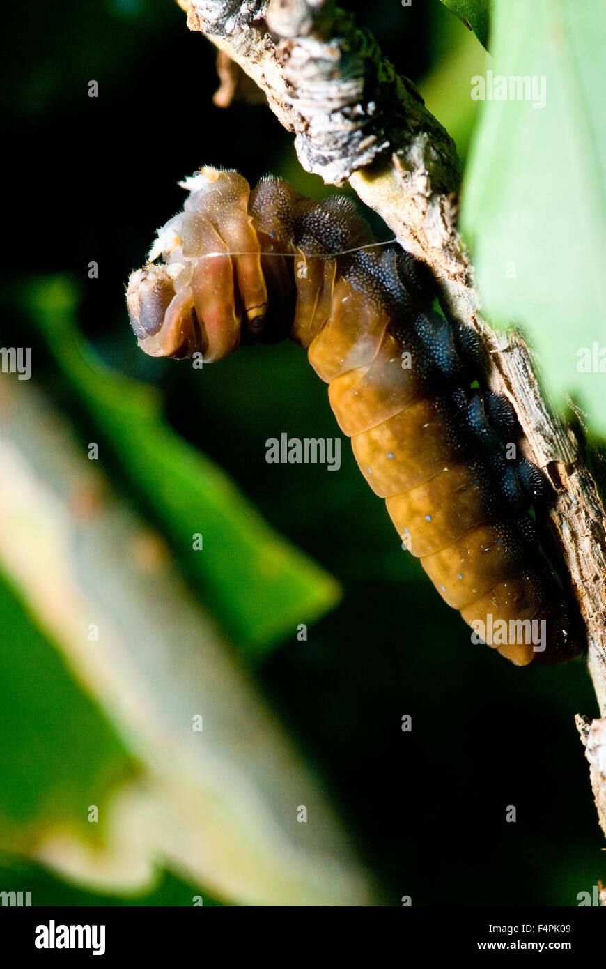 Western Tiger Swallowtail, (Papilio rutulus), caterpillar.  Albuquerque, New Mexico, USA. Stock Photo
