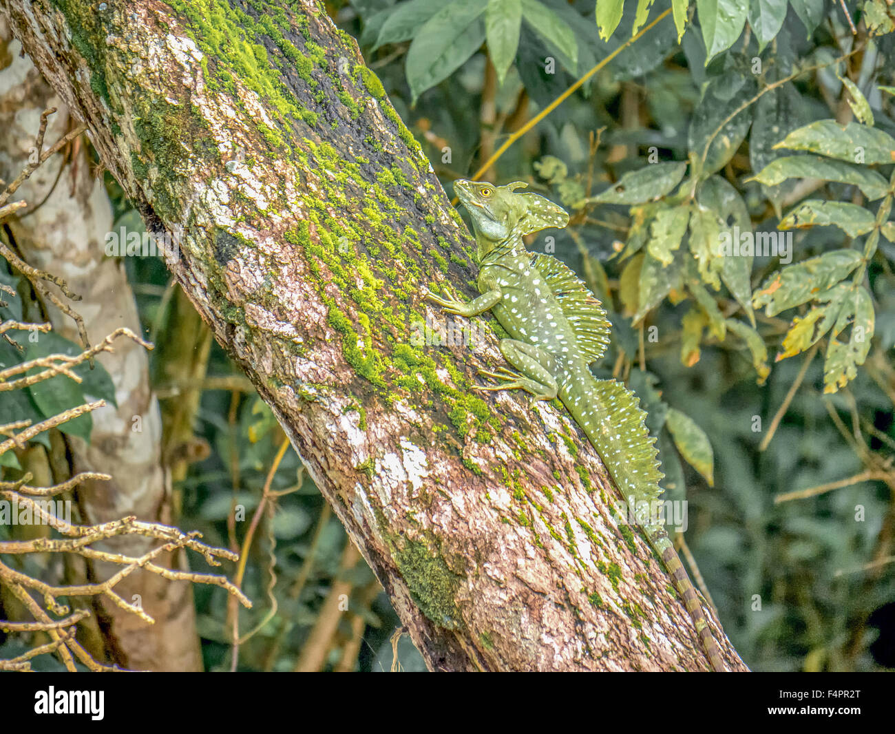 A plumed basilisk, Basiliscus plumifrons, sits in a tree along the bank of Rio Frio in Costa Rica. Stock Photo