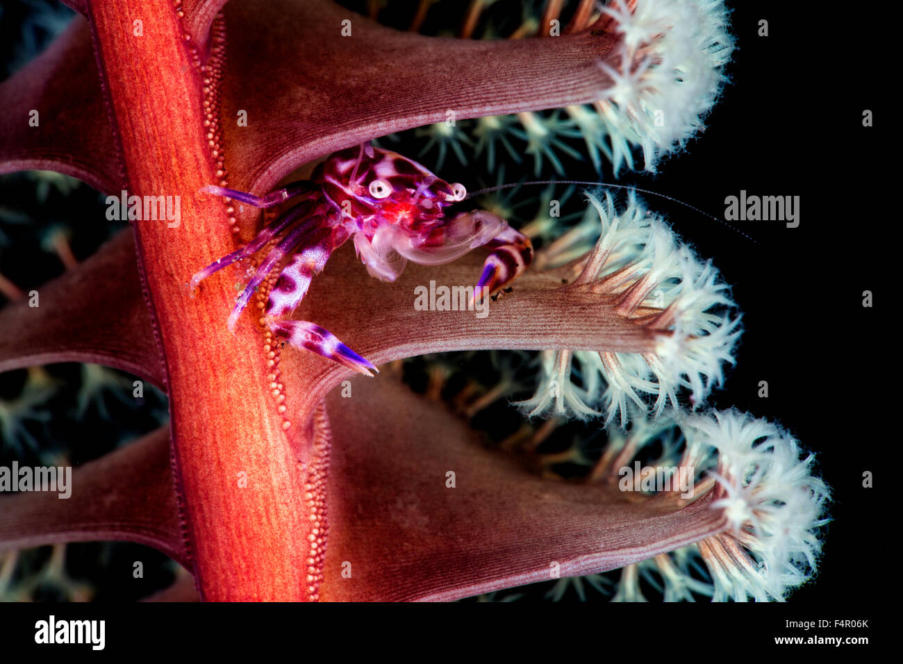 Porcelain Crab Hiding and Feeding in Seapen Home at Night Stock Photo