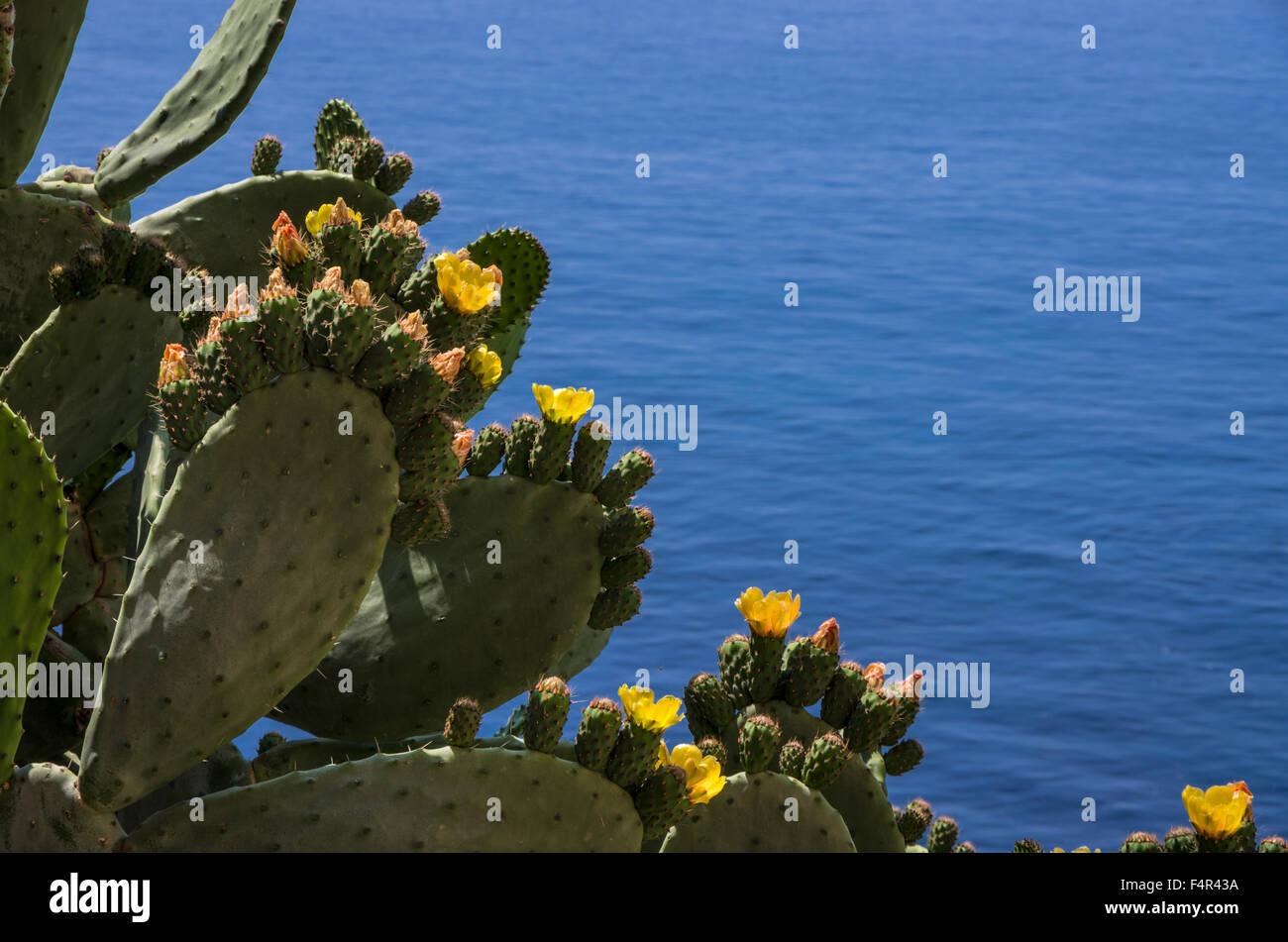 Opuntia ficus-indica looking to the tirrenian sea - Stock Image