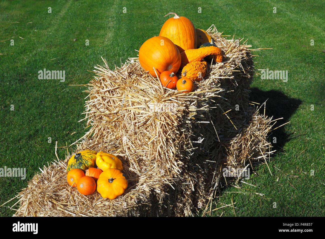 Thanksgiving Day decoration, pumpkins on a straw bale, Cucurbita maxima, Hokkaido Red kuri squash, summer squash, Stock Photo