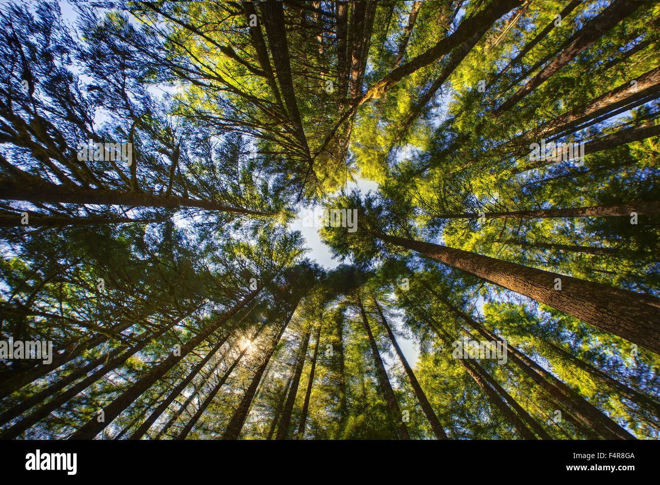Trees, USA, United States, America, from below, forest - Stock Image