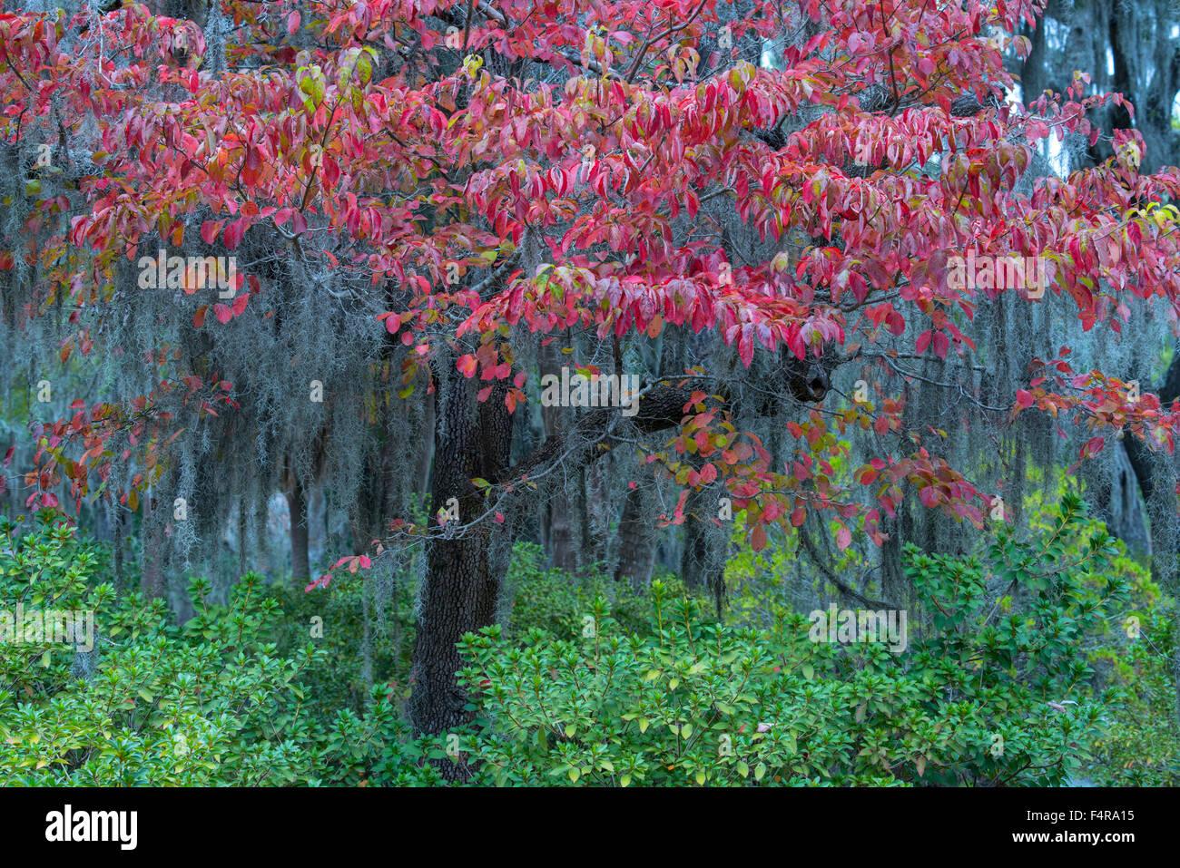 USA, United States, America, Georgia, southern, Savannah, Bonaventure, cemetery, tree, foliage, nature, autumn - Stock Image