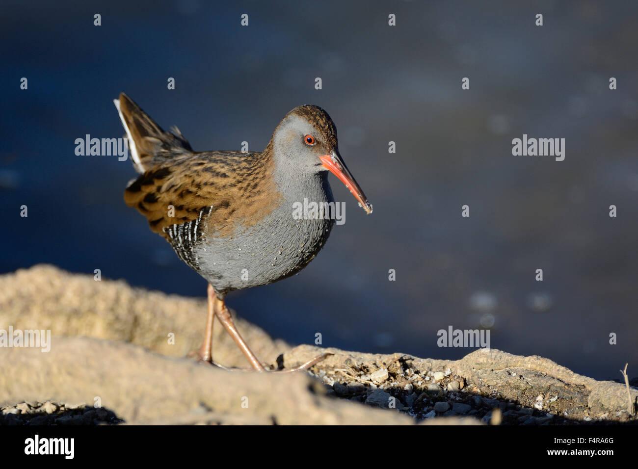 Water Rail, Rallus aquaticus, Rallidae, rail, bird, animal, Klingnau dam, . Canton of Aargau, Switzerland, Europe, - Stock Image