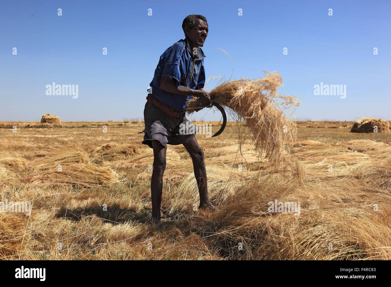 Amhara Region, farmers in the teff crop, teff, teff, millet dwarf, Eragrostis tef, seeds are gluten-free and rich Stock Photo