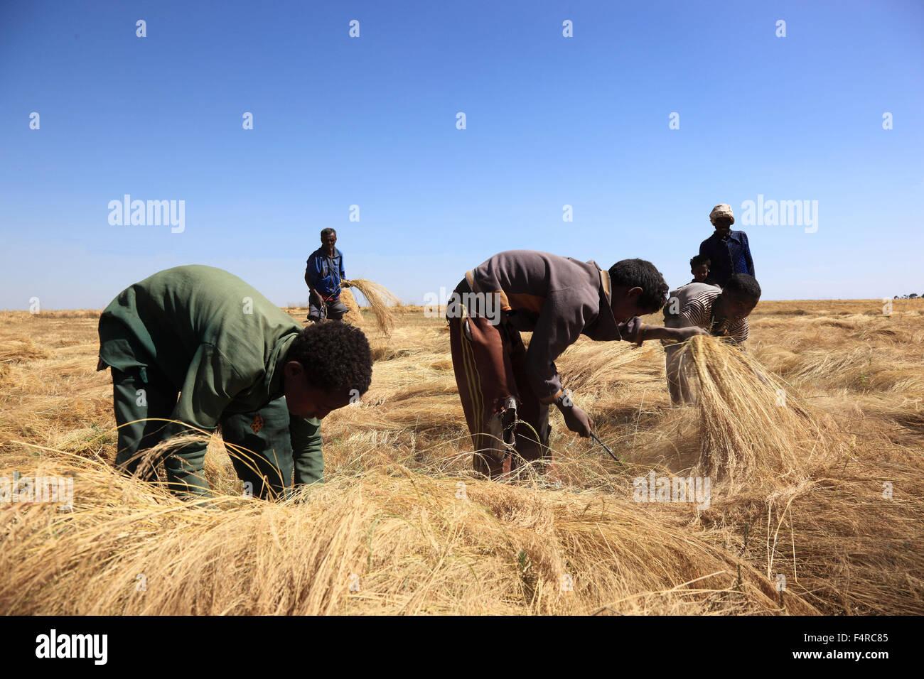 Amhara Region, farmers in the teff crop, teff, teff, millet dwarf, Eragrostis tef, seeds are gluten-free and rich Stock Photo