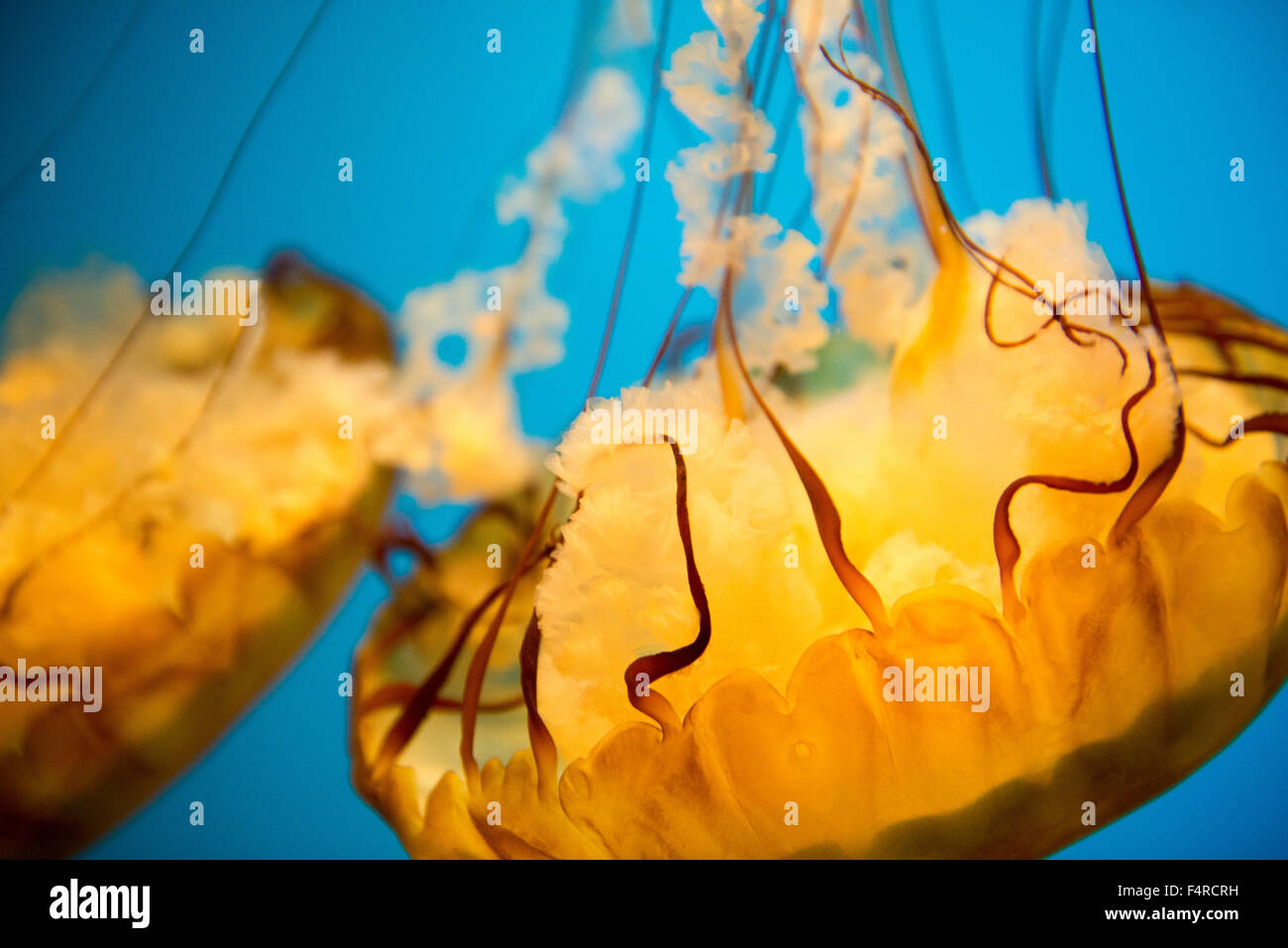 Sea nettle Jellyfish on display in a tank at the National Aquarium in Baltimore, Maryland USA Stock Photo