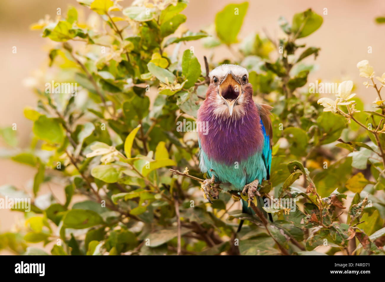 chirping colourful tropical bird - Stock Image