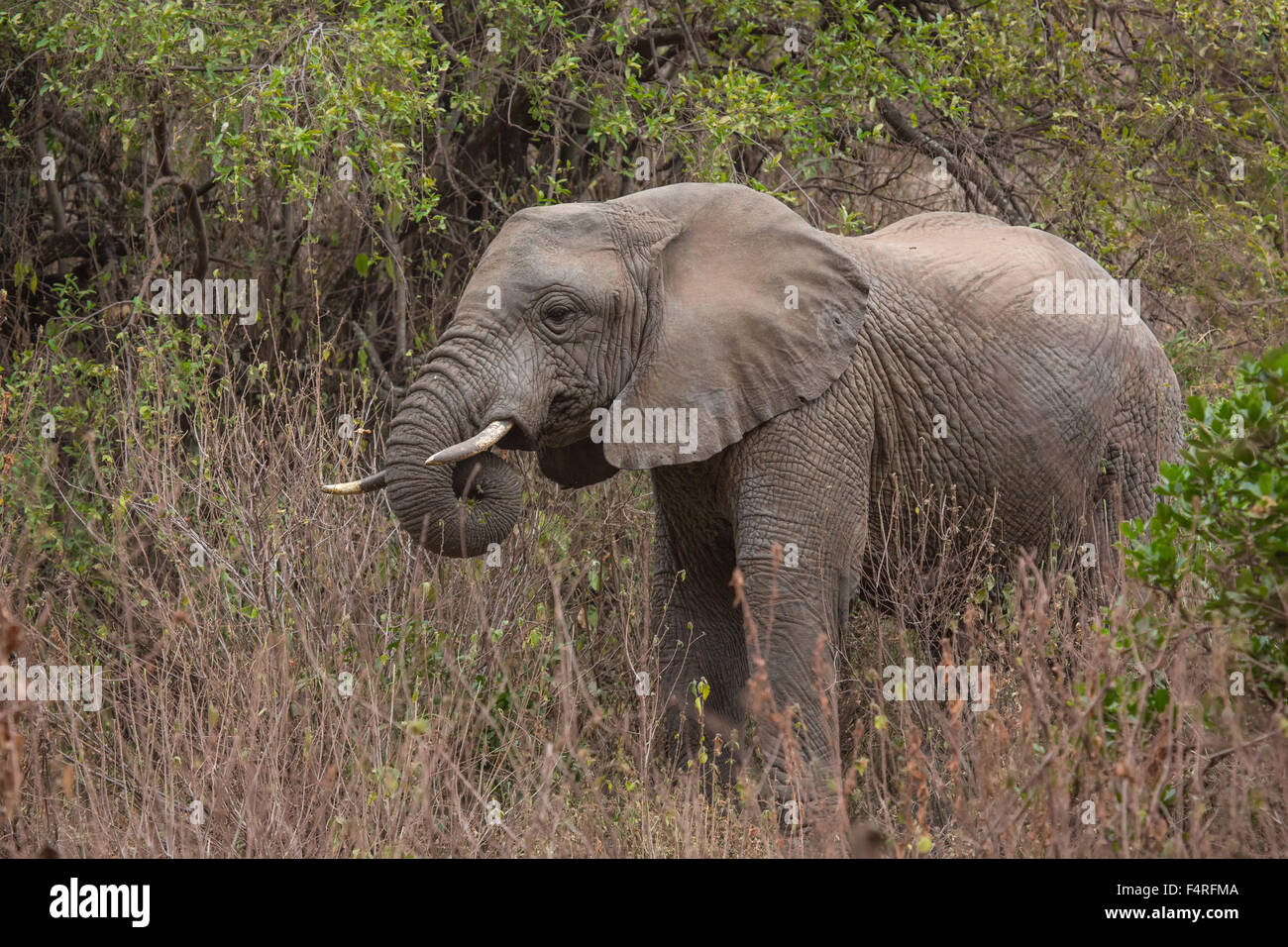Africa, elephant, Lake Manyara, national park, safari, travel, mammals, Tanzania, animals, wilderness, wild animals - Stock Image