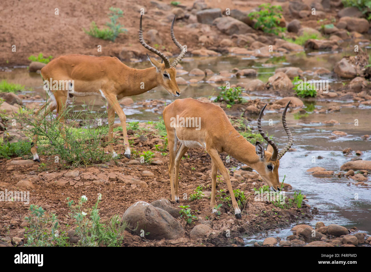 Africa, antelopes, impala, Lake Manyara, national park, safari, travel, mammals, Tanzania, animals, wilderness, - Stock Image