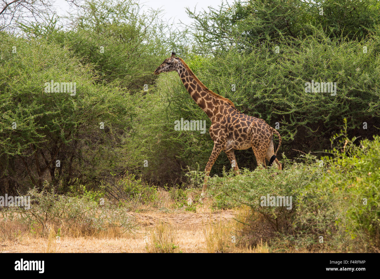 Africa, trees, giraffe, Lake Manyara, national park, scenery, landscape, safari, travel, savanna, mammals, Tanzania, - Stock Image