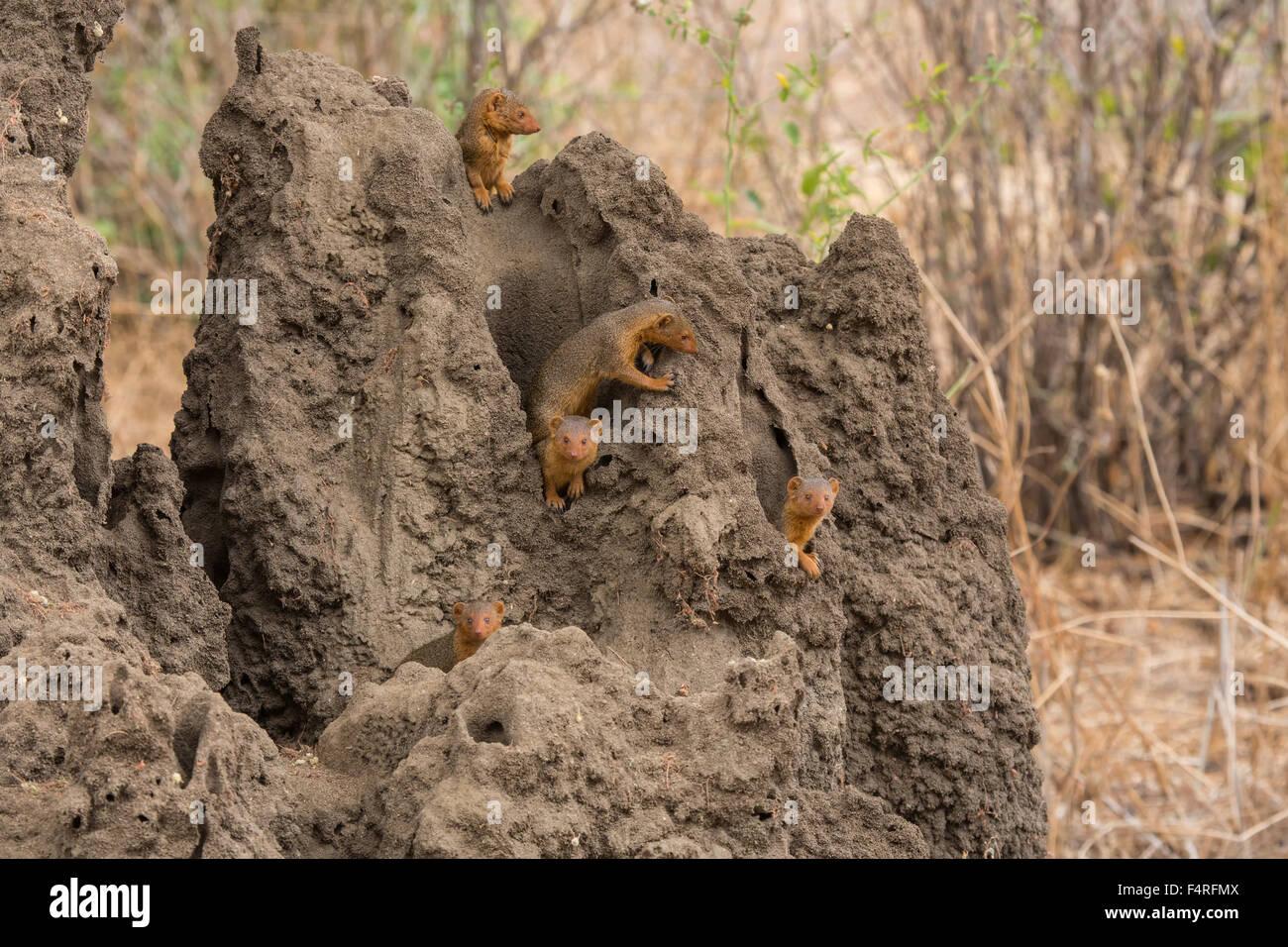 Africa, Lake Manyara, national park, mangosteen, safari, travel, mammals, Tanzania, animals, wilderness, wild animals - Stock Image