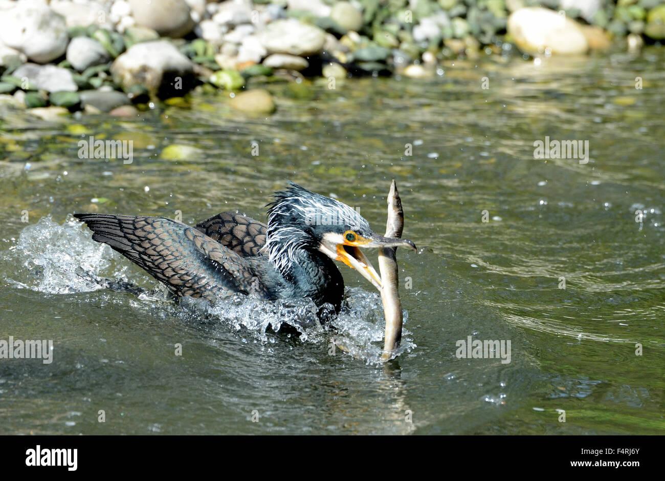Germany, brood, hatch, cormorant, cormorants, nest, Phalacrocorax carbo, Black, plumage, waterfowl, Black, beak, - Stock Image