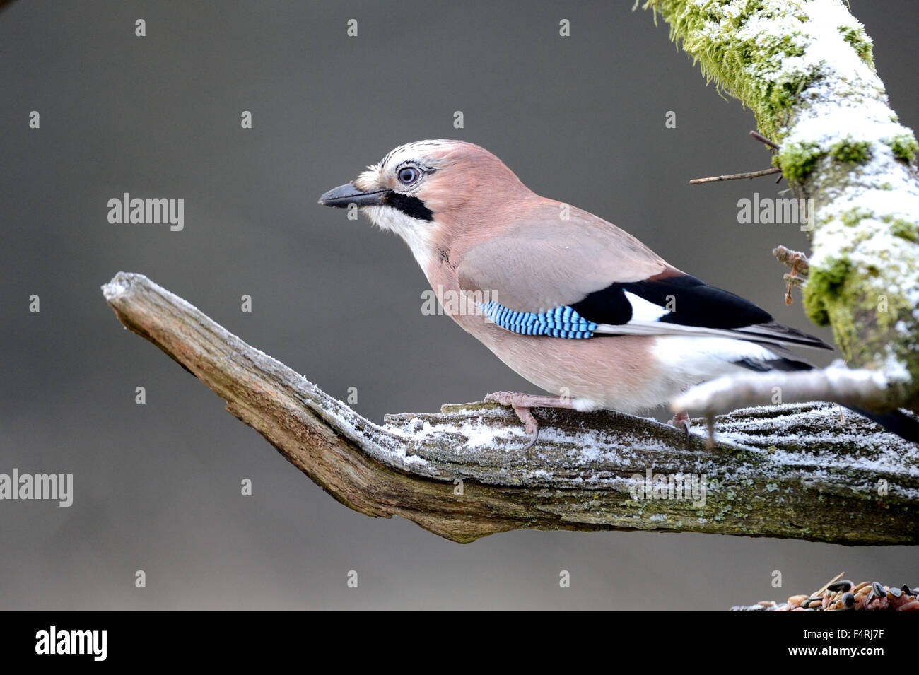 Germany, jay, Garrulus glandarius, songbirds, passerine, bird, birds, forest birds, Germany - Stock Image