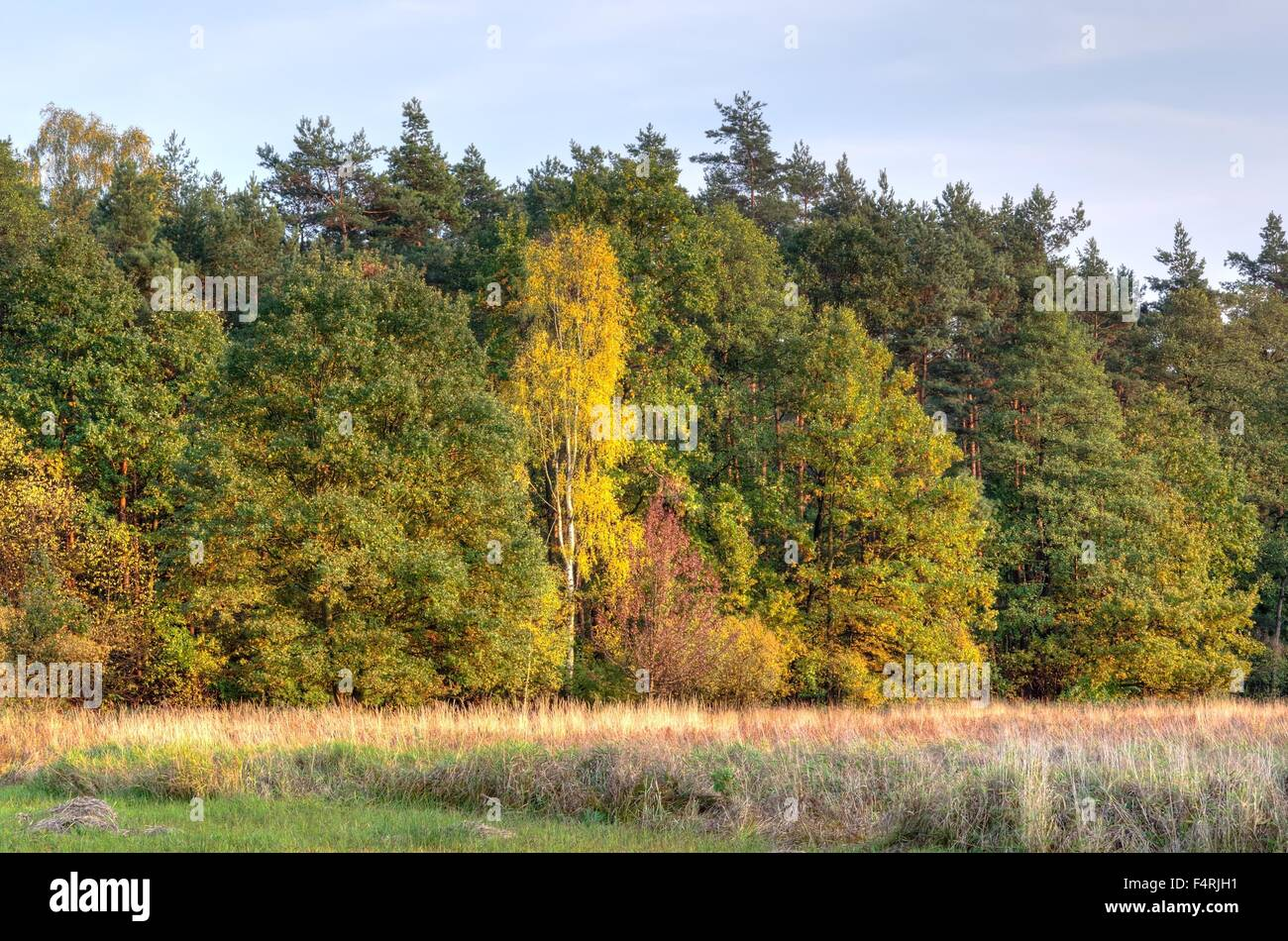 Autumn landscape. Tree with colorful autumn leaves in the forest. - Stock Image